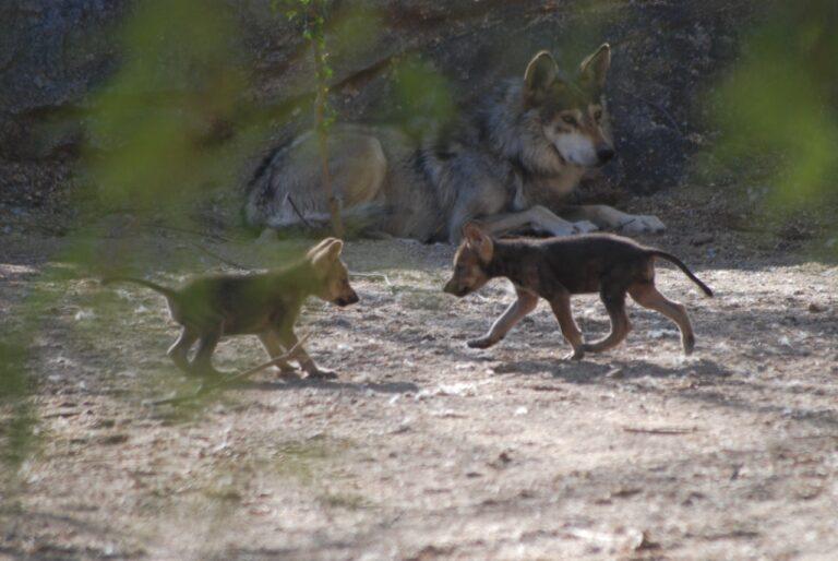 Nuevas crías de lobo gris mexicano, en el Centro Ecológico de Sonora