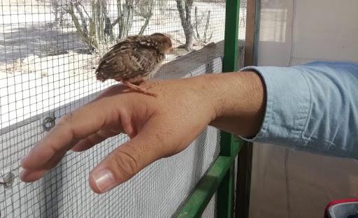 Un éxito incubadora de codornices en Centro Ecológico de Sonora