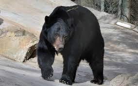 Presenta Centro Ecológico de Sonora a Chukul, un oso negro